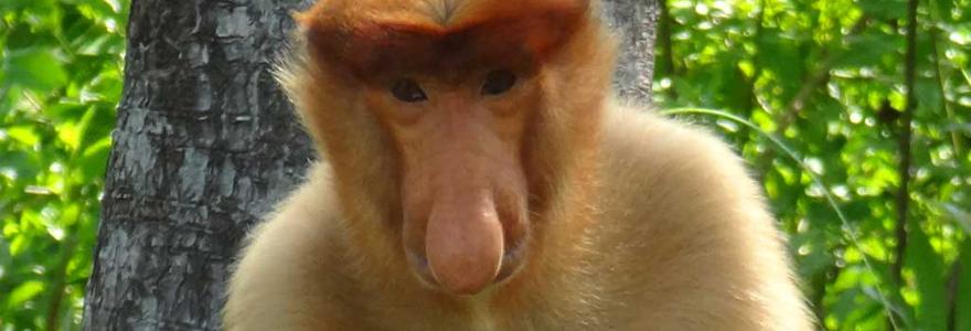singes voient rouge